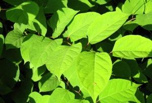 Reynoutria japonica 3-6-07 007